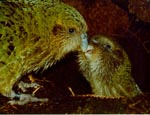 mother kakapo feeding a chick
