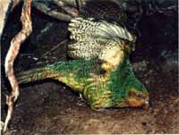 Sinbad the kakapo, dancing